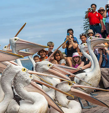children feeding pelicans at The Entrance in NSW
