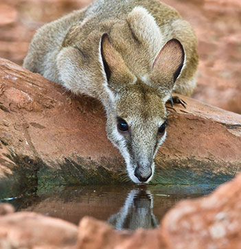 young kangaroo drinking clean water from rock pool near Oaks Cable Beach Sanctuary hotel in Broome, Western Australia