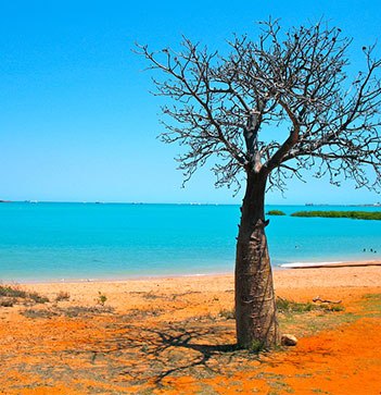 baobab on beach in broome western australia with ocean background daytime