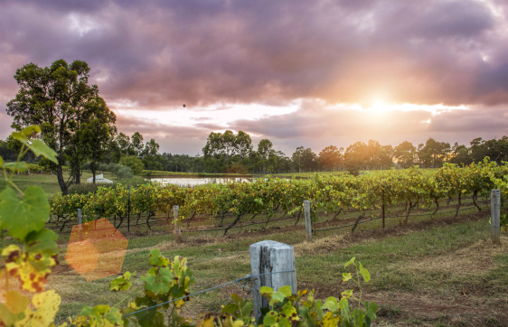 hunter valley accommodation with sun shining through clouds onto tourists walking through rows of grape vines in vineyard on wine tasting tour in New South Wales Australia during summer