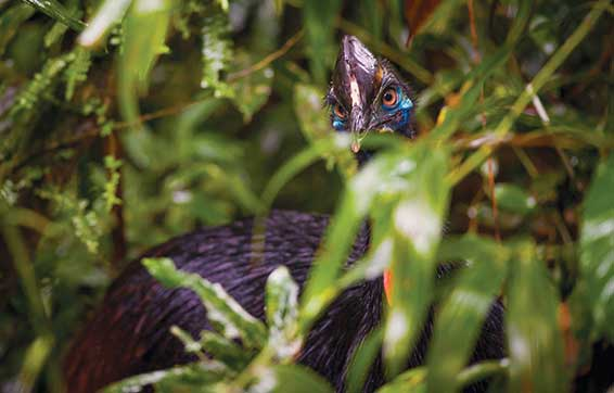 Cassowary in The Daintree green season
